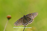 03391-00104 Baltimore Checkerspot (Euphydryas phaeton) in fen Reynolds Co., MO