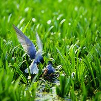 Trauerseeschwalbe, Trauer-Seeschwalbe, am Nest zwischen Krebsschere mit Küken, Seeschwalbe, Seeschwalben, Chlidonias niger, black tern, La Guifette noire