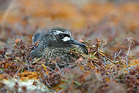 Black Turnstone (Arenaria melanocephala) incubating eggs on teh nest. Yukon Delta National Wildlife Refuge, Alaska. June.
