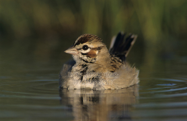 Lark Sparrow, Chondestes grammacus,adult bathing, Willacy County, Rio Grande Valley, Texas, USA