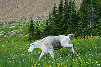 Mountain Goat (Oreamnos americanus) walking through subalpine meadow of wildflowers.  Glacier National Park, Montana.  Summer.
