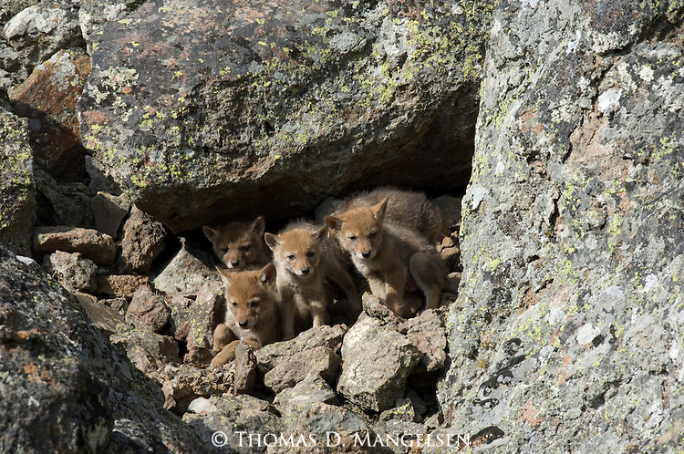 Coyote pups resting at their den in Yellowstone National Park.