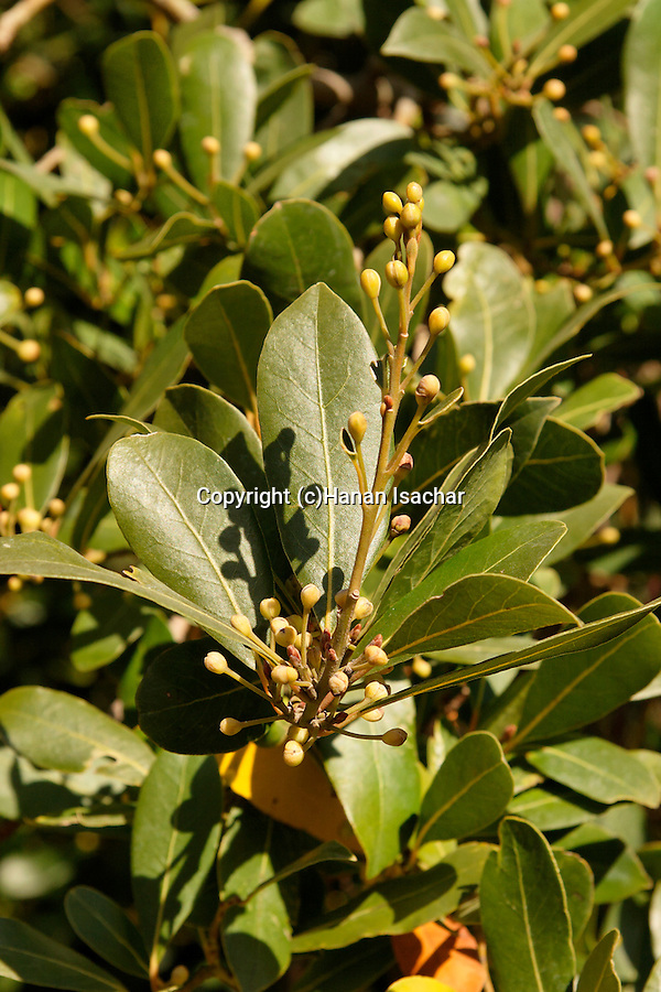 Israel, Jerusalem. Laurel tree (Laurus Nobilis) by the British War Cemetery on Mount Scopus