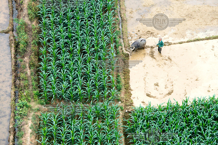 Maize plants grow beside a rice paddy field where a man and a buffalo are ploughing. /Felix Features