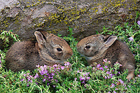 Eastern Cottontails (Sylvilagus floridanus) - first day out of nest. Spring. Near Niagara Falls, Ontario. Canada.