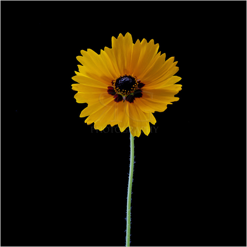 Portrait of a Texas Wildflower, the coreopsis.