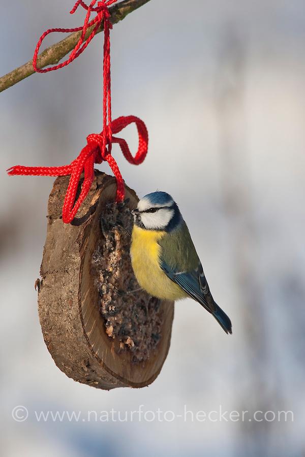 Blaumeise, an der Vogelfütterung, Fütterung im Winter bei Schnee, an Fettfutter in aufgehängtem Holzring, selbstgemachtes Vogelfutter, Winterfütterung, Blau-Meise, Meise, Cyanistes caeruleus, Parus caeruleus, blue tit