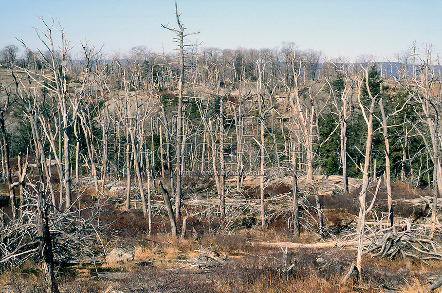 ACID RAIN DAMAGE TO TREES<br /> Harriman State Park, NY (Adirondacks)<br /> Acid rain first kills fish &amp; plant life in pond. Food chain for animals is disturbed and ecosystem is paralyzed. Acid Rain forms when oxides of sulfur and nitrogen combine with atmospheric moisture to yield sulfuric and nitric acids.