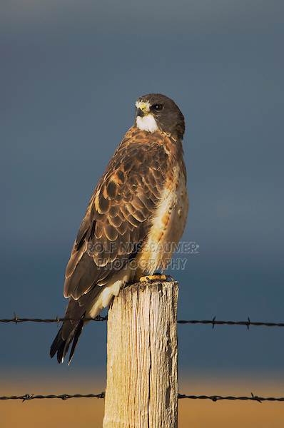 Swainson's Hawk, Buteo swainsoni, adult on fence post after rainstorm, Rocksprings, Wyoming, USA