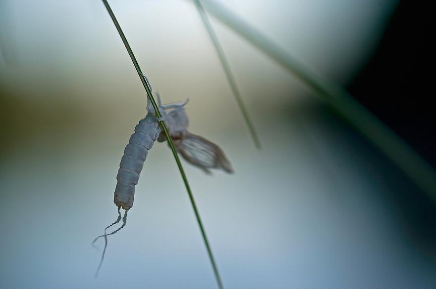 Molted skin of the Mayfly  (Palingenia Longicauda) left behind, the river Tisza, Hungary