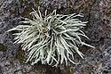 Sea Ivory lichen (Ramalina siliquosa) Isle of Mull, Scotland, UK. June.