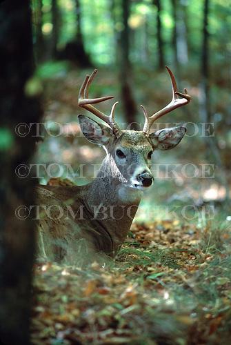 White-tailed deer, Odocoileus virginianus, in the Upper Peninsula of Michigan.