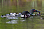two chicks with male and female loon feeding chick dragon fly larvae .