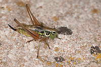 Roesels Beißschrecke, Rösels Beißschrecke, Roesels Beissschrecke, Weibchen, Metrioptera roeselii, Roeseliana roeselii, Roesel's bush cricket