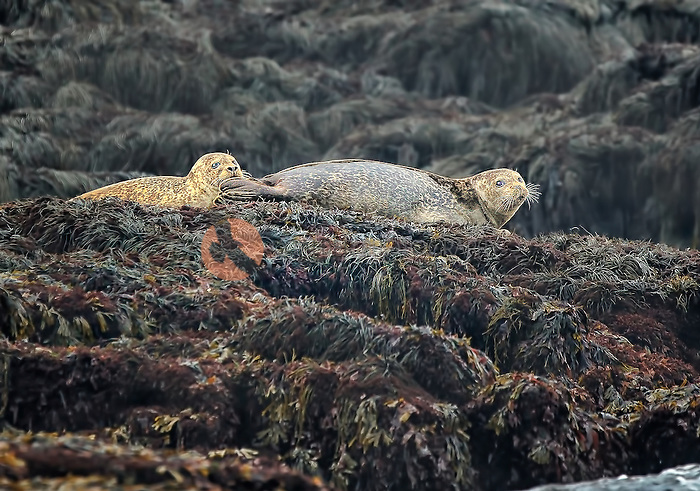Two Harbor Seals lounging on Seal Rock in North Atlantic Ocean