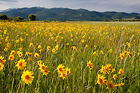 Sunflowers in a mountain meadow