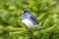 dark-eyed junco, Junco hyemalis, perched on branch in boreal forest, Nova Scotia, Canada