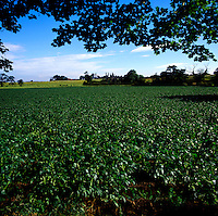 Potatoe field in north Yorkshire,England.
