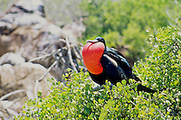 The throat sac of male frigate birds can be inflated with air and is used to impress the females, both visually and by helping to resonate the loud rattlings and yodels of courting males.  Galapagos, Equador.