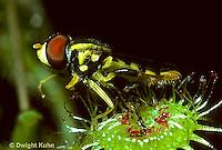 CA07-003a  Sundew - flower fly caught in sundew - Drosera rotundifolia