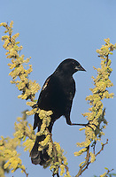 Red-winged Blackbird, Agelaius phoeniceus,male on blooming blackbrush, Welder Wildlife Refuge, Sinton, Texas, USA