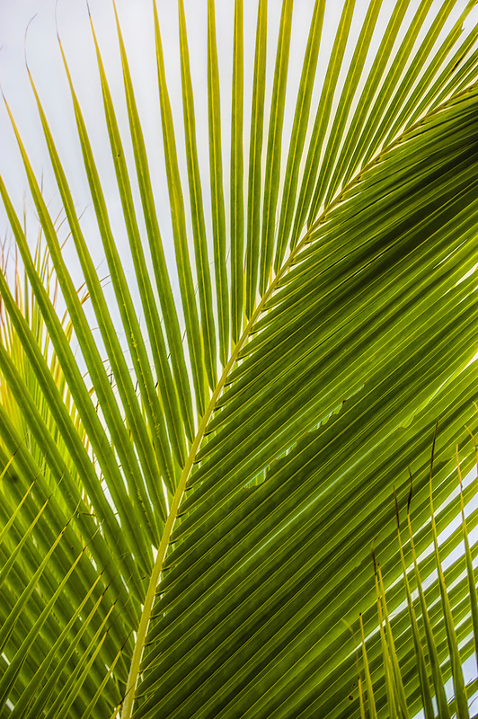 Close-up detail of a coconut palm frond on Florida's Sanibel Island.