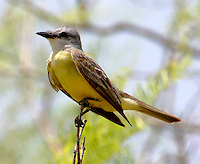 Couch's kingbird adult