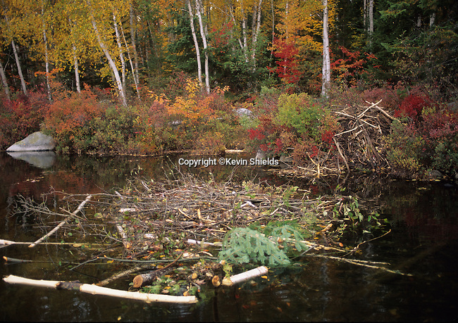 Cache and lodge of a beaver colony in the Fall in Upper Togue Pond, Baxter State Park, Maine, USA