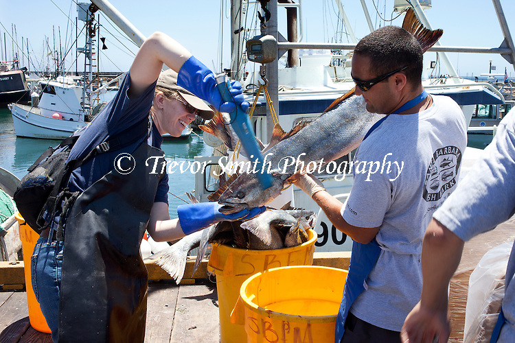 Scientist scan White Sea Bass landed at  Santa Barbara harbour as part of the Ocean Resources Enhancement Hatchery Program