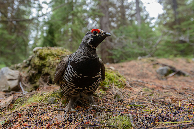 "Male ""Franklin's"" Spruce Grouse (Falcipennis canadensis). Okanogan County, Washington. May."