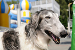 Greyhound, Windhund, Hund, Dog, Vaduz, Liechtenstein