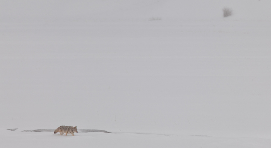 High winds and heavy snows impede the travel of a lone coyote looking for prey in the Lamar Valley area of Yellowstone National Park.
