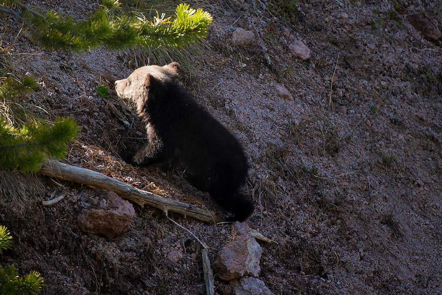 A grizzly bear cub scrambles up a hillside above the Gibbon River in Yellowstone National Park.