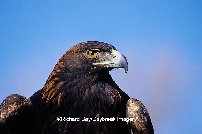00788-00516 Golden Eagle (Aquila chrysaetos) captive bird,  CO