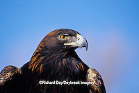 00788-00516 Golden Eagle (Aquila chrysaetos) captive bird,  CO