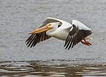 A white pelican flies over the Missouri River near Kansas Cithy.
