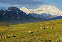 Caribou Stand On A Tundra Ridge, Mt. Denali In The Background, Summer Denali National Park, Alaska