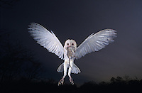 Barn Owl, Tyto alba,adult in flight with mouse at dusk, Willacy County, Rio Grande Valley, Texas, USA