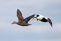 Pair of Common Eider (Somateria mollissima) in flight. Chukotka, Russia. July.
