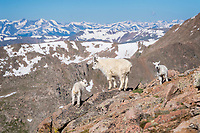 These Mountain Goat kids were resting with their mother.  When mom and her little brood left the spot, the yearling remained asleep.  When it woke up, and realized it was alone, the yearling started bleating.  The kids, further uphill, heard the yearling and came running.  Here they reunited at the edge of the cliff.  The kids seemed genuinely happy to get back together with their buddy.  Mount Evans, Colorado.