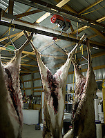 White tail deer hang to drain blood after a hunt near Alzada, Montana, Friday, November 9, 2012.<br /> <br /> <br /> Photo by Matt Nager