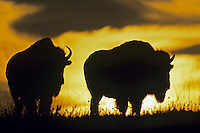 Two bison with summer sunrise.  Western US.