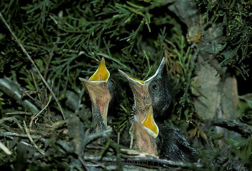 Brown thrasher nestlings asking for food