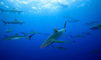 RM0596-D. Silky Sharks (Carcharhinus falciformis), dozens gathered together to feed on small fish in baitball (just out of frame). Baja, Mexico, Pacific Ocean. <br /> Photo Copyright &copy; Brandon Cole. All rights reserved worldwide.  www.brandoncole.com