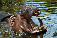 "The hippopotamus (Hippopotamus amphibius) or hippo, from the ancient Greek for ""river horse"", is a large, mostly plant-eating mammal in sub-Saharan Africa, and one of only two extant species in the family Hippopotamidae (the other is the Pygmy Hippopotamus). The hippopotamus is the heaviest extant artiodactyl, despite being considerably shorter than the giraffe."