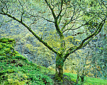 Maple tree against basalt cliff, Columbia River gorge, Oregon
