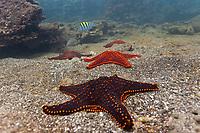 Colorful sea stars on the ocean floor, Bartolome Island, Galapagos Islands, Ecuador
