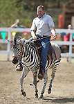 Shane Harrington ride in a zebra race in the International Camel Races in Virginia City, Nev., on Friday, Sept. 9, 2011. .Photo by Cathleen Allison