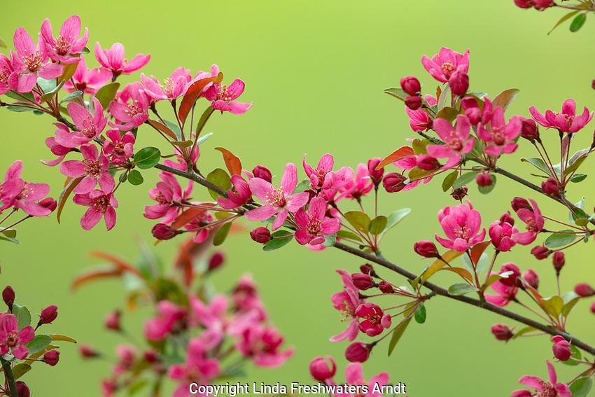 Purple prince flowering crab tree