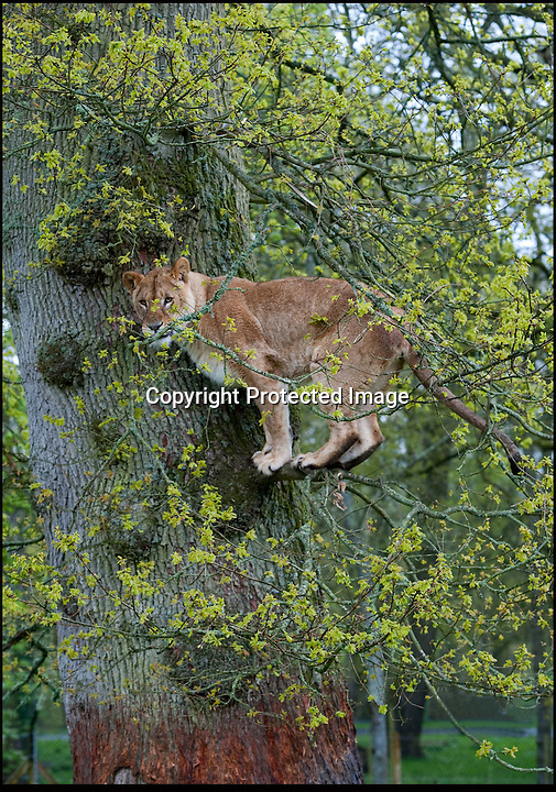 BNPS.co.uk (01202 558833).Pic: IanTurner/BNPS..Any perch will do when trying to avoid the drizzle...The famous lions of Longleat are getting as fed up with the British spring as everybody this year, with even the normally playful cubs resorting to taking shelter wherever they can find it...The Wiltshire attraction now has a record eleven cubs from three different litters roaming the park. But as keeper Ian Turner said 'Lions like to feel the sun on their backs like the rest of us, and I think they would be delighted to end this run of wet and cold and get weather more similar to the African savannah.'
